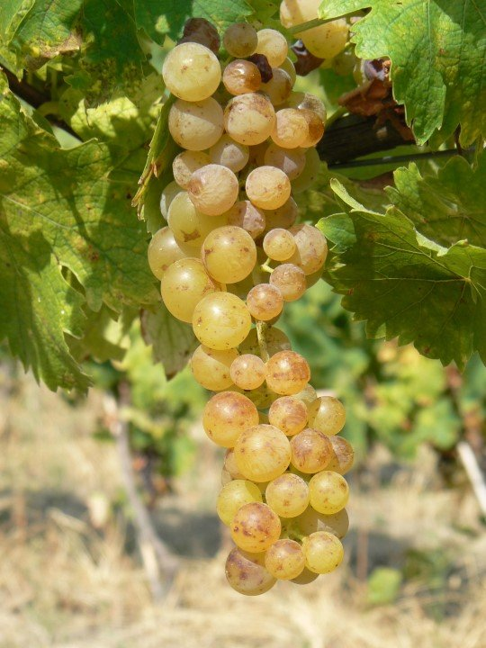 Loazzolo: small Moscato's grape