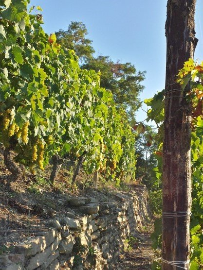 dry stone walls in Moncucco vineyards