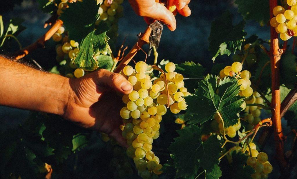the Moscato Bianco grape