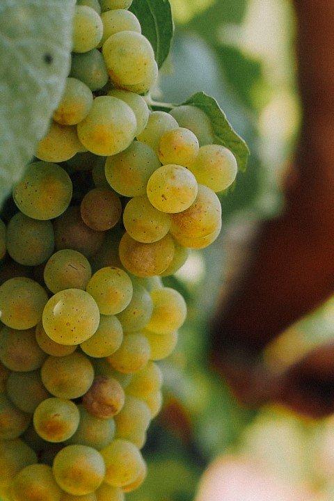 close up Moscato Bianco in Asti region