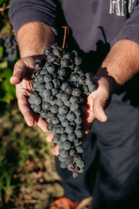 a grape of Nebbiolo from Pianfiorito vineyards